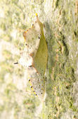 Capullo de mariposa insecto — Foto de Stock