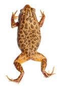 Animal amphibian frog — Stock Photo