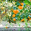 Mandarin orange tree in garden — Stock Photo