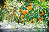 Mandarin orange tree in garden — Stock Photo