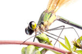 Insect damsefly dragonfly isolated — Stock Photo