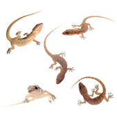 Gecko isolated collection — Stock Photo