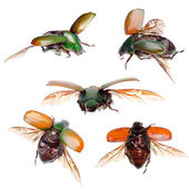 Insect green scarab beetle isolated collection — Stock Photo
