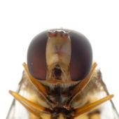 Fly hoverfly — Stock Photo