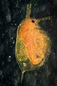 Animal water flea — Stock Photo