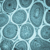 Microscopic section of Testis T.S tissue — Stock Photo