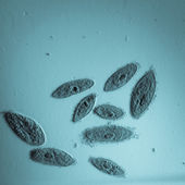 Animal conjugation of Paramecium caudatum — Stockfoto
