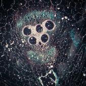 显微镜显微镜下植物组织,南瓜干 — 图库照片