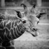 Wild animal giraffe — Stockfoto