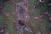 肝臓組織の顕微鏡写真 — ストック写真