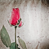 Red rose flower old grunge paper texture — 图库照片