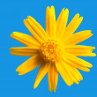 Stock Photo: Yellow daisy flower