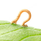 Insect inchworms or loopers — Stock Photo