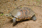 Asian yellow pond turtle — 图库照片