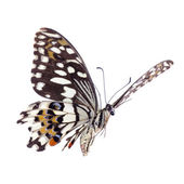 Flying citrus swallowtail lime butterfly — Stock Photo
