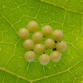 Butterfly eggs — Stock Photo