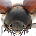 Scarab may beetle — Stock Photo #17972085