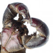 Vinegaroon scorpion — Stock Photo
