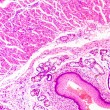 Stock Photo: Stratified squamous epithelium