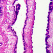 Cilliated epithelium tissue — Lizenzfreies Foto
