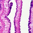 Cilliated epithelium tissue - Foto Stock
