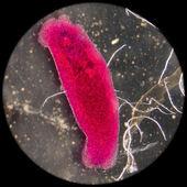 Aquaculture fish parasite Benedenia seriolae worm — Stock Photo