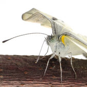 Insect small white butterfly emergence — Stock Photo