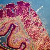 Rozvrstvené šupinaté epithelium — Stock fotografie