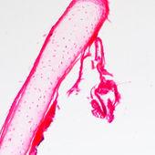 Bone cell osteocyte — Stock Photo
