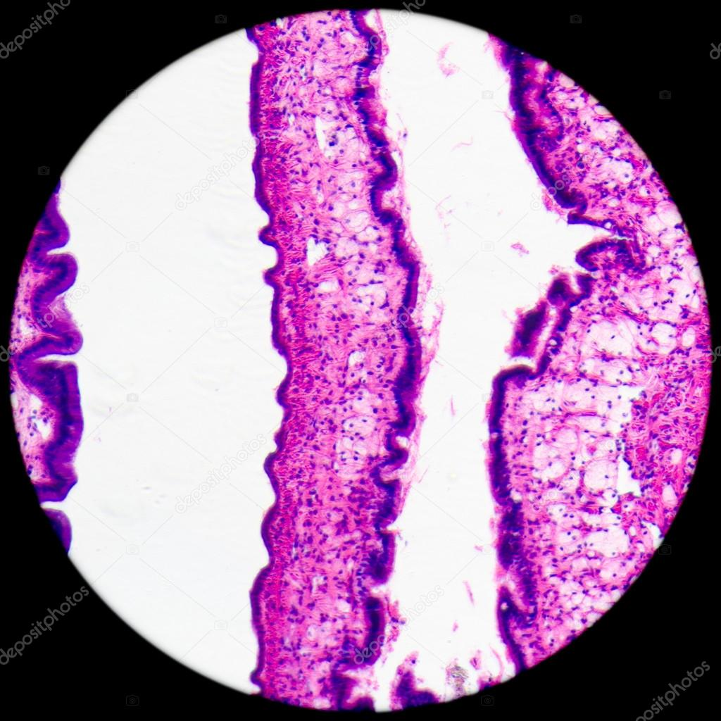 Micrograph of medical science cilliated epithelium tissue cell — Stock Photo #17973765