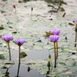 Water lily lotus flower — Stock Photo #18425159