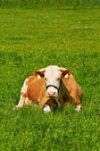 Brown female cow laying on grass in a sunny day. — Stock Photo