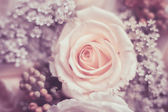 white rose — Fotografia Stock