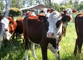 Kühe — Stockfoto