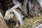 Rabbits in a hutch — Stock Photo