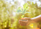 Planting a new oak tree — Stock Photo