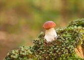 Oak Mushrooms in the moss — Stock Photo