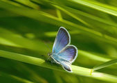 Blue butterflies — Foto Stock