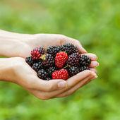 Blackberry in mano — Foto Stock