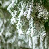 Pine branches covered with hoarfrost — ストック写真