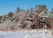 Pine forest covered with snow — Stock Photo