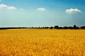Wheat field against a blue sky — Stock Photo