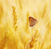 Butterfly sits on an ear of wheat — Stockfoto