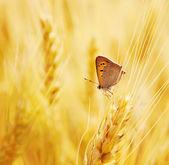 Butterfly sits on an ear of wheat — Стоковое фото
