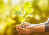 Oak sapling in hands. The leaves of rays of sunlight. — Stock Photo