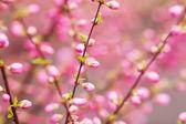 Beautiful flowering Japanese cherry - Sakura. — Stock Photo