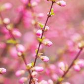 美しい花の咲く桜 - 桜. — ストック写真