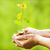 Aspen sapling in hands. The leaves of rays of sunlight. — Stock Photo