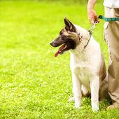 Man and Akita Inu dog walk in the park. — Stock Photo