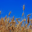 Wheat in sky — Stock Photo